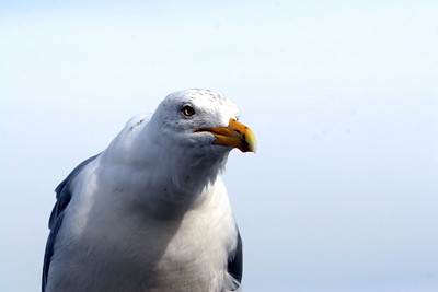 Close and Personal with a SeaGull