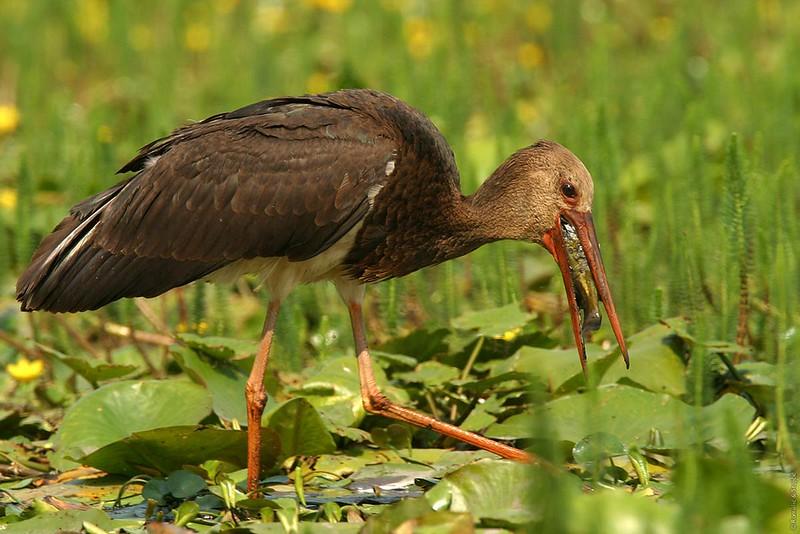 Black Stork  -- Croatia