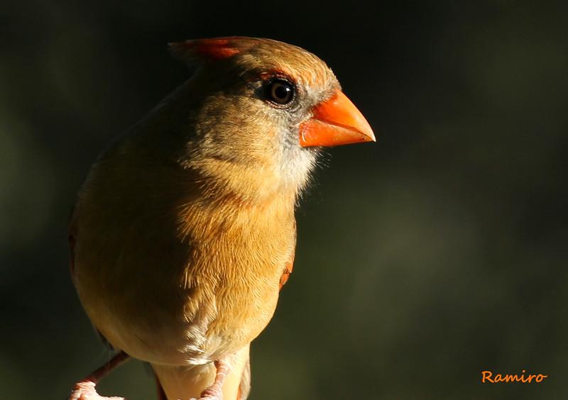 Female Cardinal 11-2-15 159.jpg