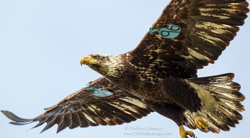 Bald Eagle Back Bay AE4E0048 NI ResizedCropped.jpg
