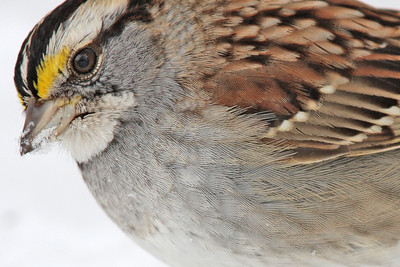 Sparrow, White-Throated
