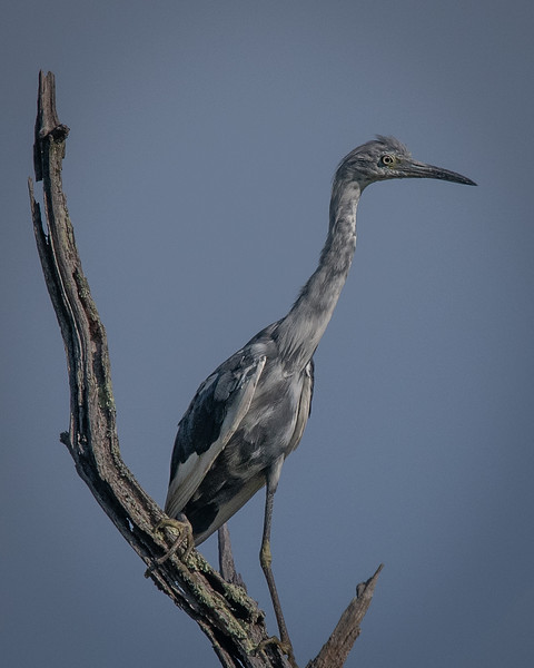 Little Blue Heron juvenile in moult