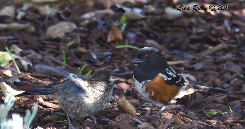 Reclently Fledged and Parent Spotted Towhees - 5/28/2019 - Sabre Springs Backyard