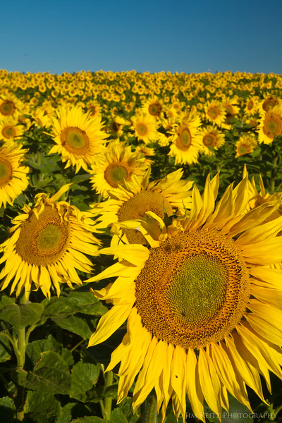 Sunflower fields just a short walk down the road from our Chateau outside Amboise.