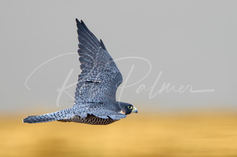 Peregrine Falcon on the chase.