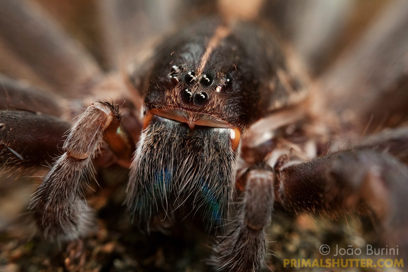 Frontal macro of a wandering spider (Ctenidae Isoctenus), in Intervales State Park, Brazil. South-east atlantic forest reserve, UNESCO World Heritage Site.