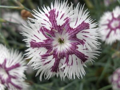 Dianthus lumnitzeri.jpg