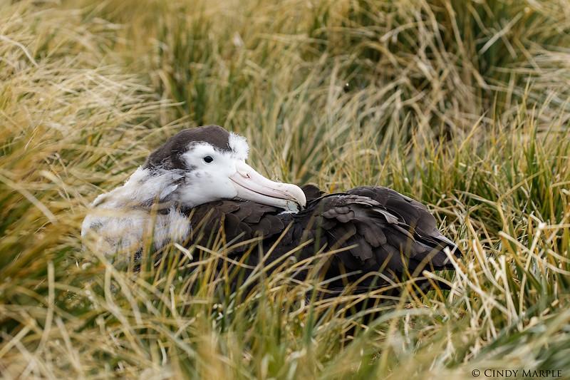 Wandering Albatross (Snowy Albatross)
