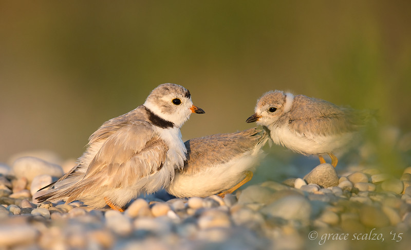 Piping Plover Female and Chicks coming to brood