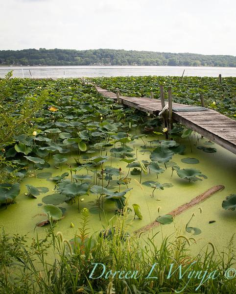 Lotus by a lake - boardwalk_5191.jpg
