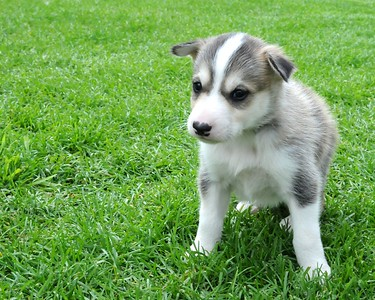 Pet Portrait Photography  - Puppy - #1 - 3 weeks old - Alaska Husky - Iditarod - Team Seavey Kennel - Anchorage - Alaska - USA