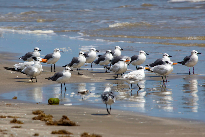An assembly of Gulls and Royal Terns.