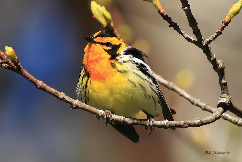 Blackburnian Warbler, Blue Ridge Parkway, Haywood County, NC- June 2017