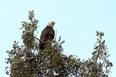 2018 Bald Eagles
