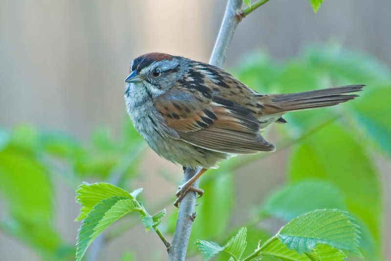 Sparrow - Swamp - Carlos Avery NWR - MN