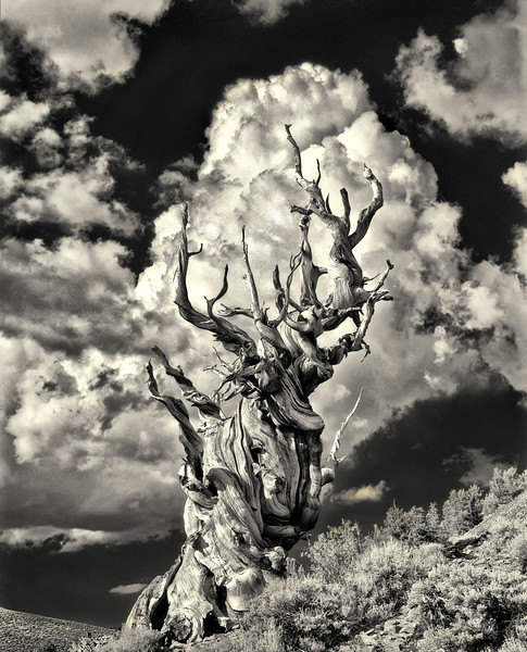 Ancient Bristlecone Pine & Thunder Cloud