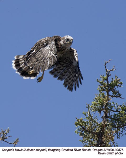 Cooper's Hawk J30575.jpg