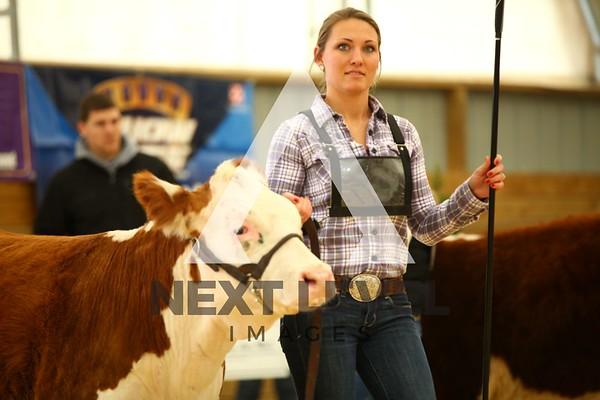 VCCP 2013 Heifer Ring Shots