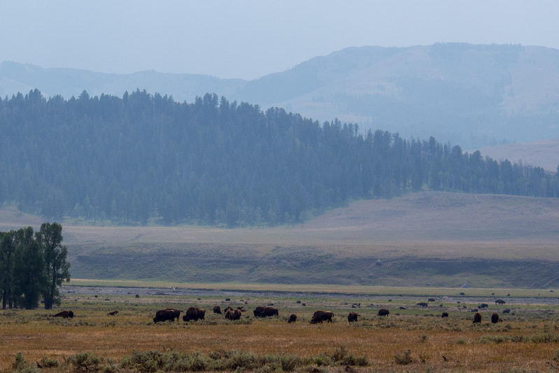 montana yellowstone bison herd.jpg