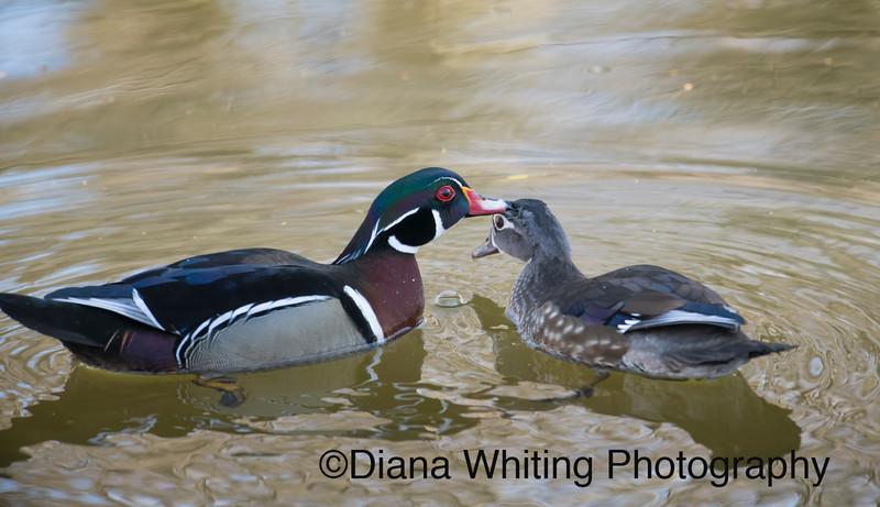 Wood Duck Mating Behavior.jpg