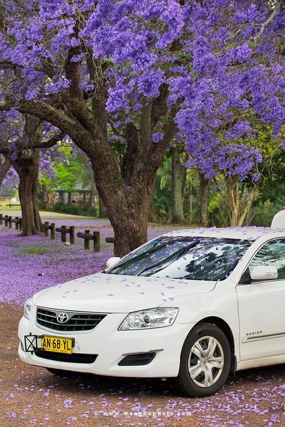 比普罗旺斯更浪漫!在南半球小镇Grafton沐浴紫色花海 - 一镜收江南 - 清韵