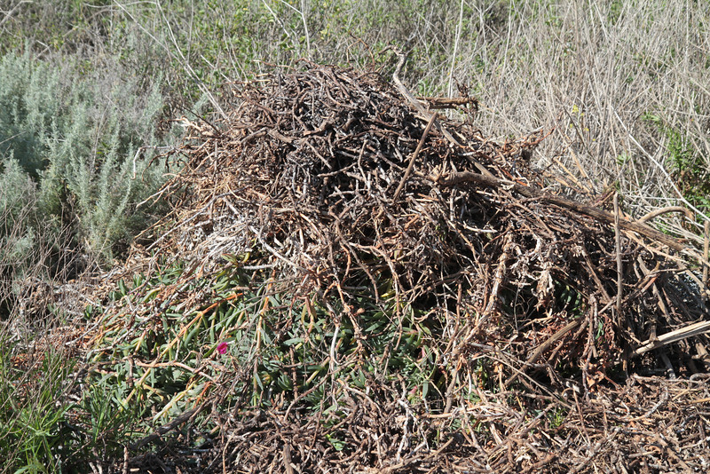 """Piles of uprooted """"iceplant."""""""