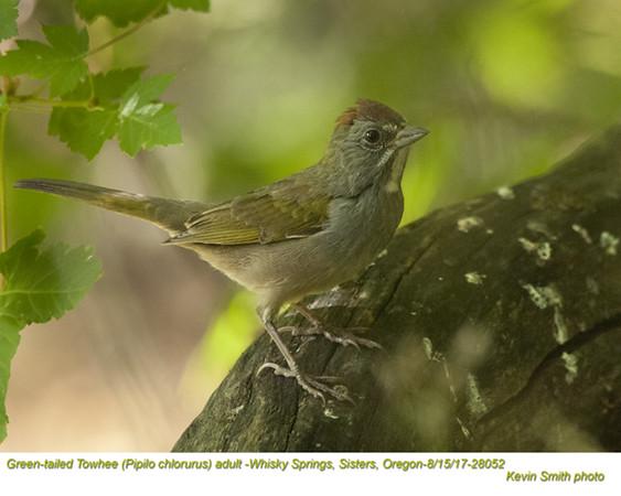 Green-tailed Towhee A28052.jpg