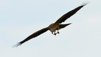 Red Kite eating