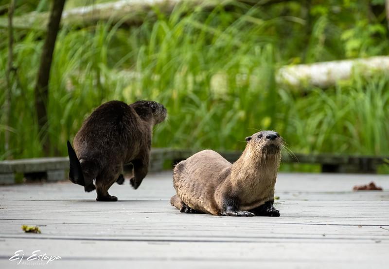 otters_BP_0521_2.jpg