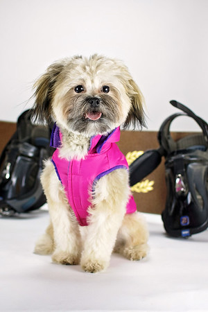 Roxy the Shih Tzu Pomeranian Mix (8 Months old)
