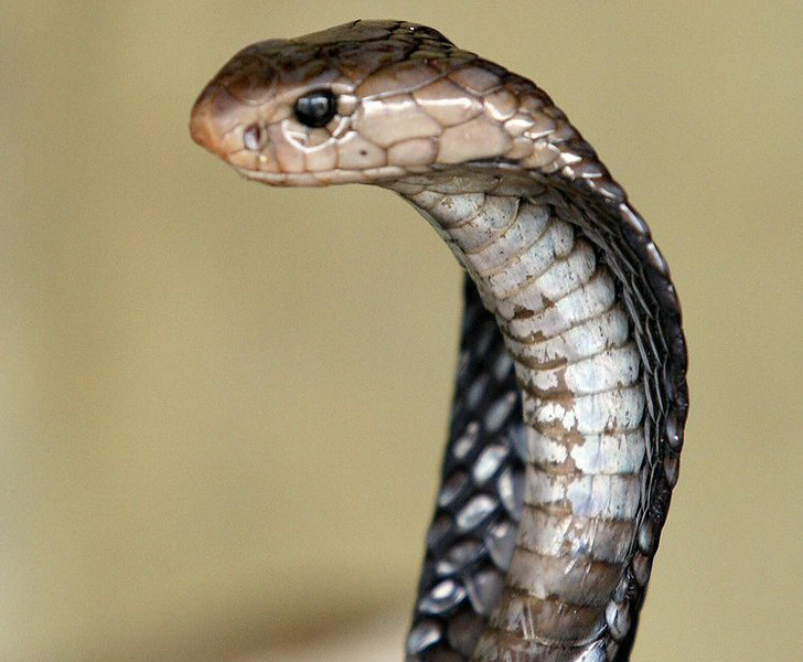 """. 9. COBRAS <p>It�s probably safer if you just cook up some of Campbell�s Chunky Spitting Cobra Chowder. (10) </p><p><b><a href=\""""http://www.dailymail.co.uk/news/article-2732523/Chef-dies-spitting-cobra-cooking-bit-hand-20-minutes-cut-head-off.html\"""" target=\""""_blank\""""> LINK </a></b> </p><p>    (Adek Berry/AFP/Getty Images)</p>"""