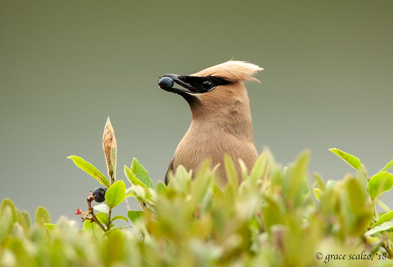 Cedar waxwing eating wild blueberry