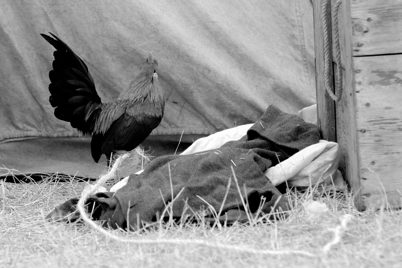 A rooster, his leg tied to a pole to prevent his escape, walks around a small camp. The Skirmish at Gamble's Hotel happened on March 5, 1885 when 500 federal soldiers, under the command of Reuben Williams of the 12th Indiana Infantry, marched into Florence to destroy the railroad depot but were met by Confederate soldiers backed up with 400 militia. The reenactment, held by the 23rd South Carolina Infantry, was held at the Rankin Plantation in Florence, South Carolina on Saturday, March 5, 2011. Photo Copyright 2011 Jason Barnette