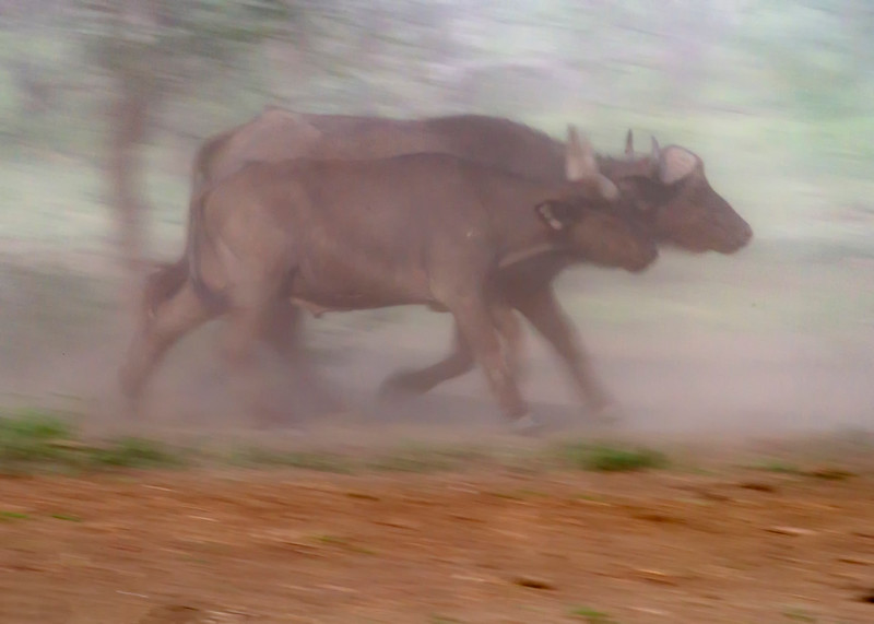 Buffalo in the Dust