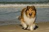 Shelby - Shetland Sheepdog