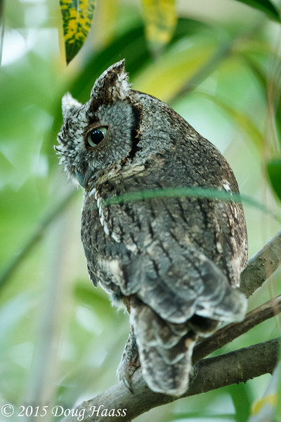 Gray Morph Eastern Screech Owlet Megascops asio