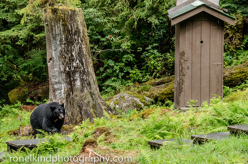 Here's the deal.  When you need to use the outhouse, let the Ranger know, and when you are done, stick your finger out and wiggle it.  If there is a bear nearby, he'll let you know it's not safe to leave.  So you wait until the bear is gone.