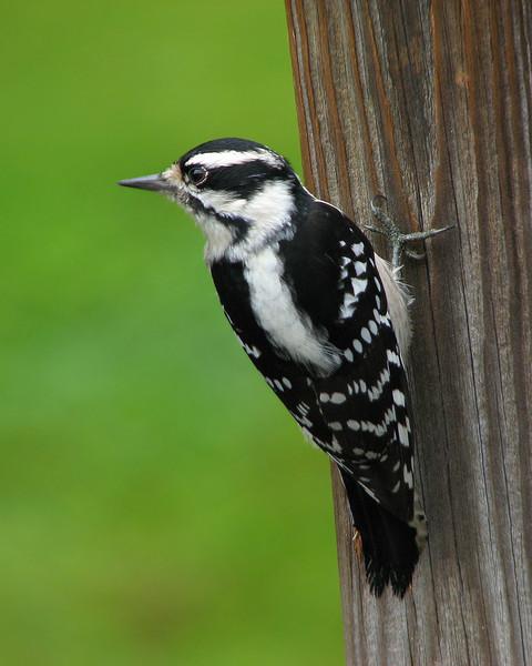 downey_woodpecker_1610.jpg