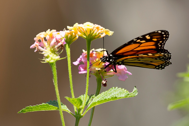 Monarch with probiscus deep in a blossom