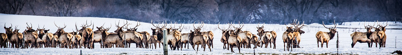 Bull Elk Herd in Wellsville