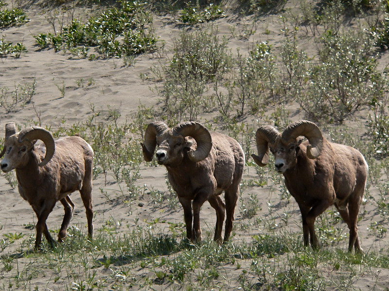 """Think the music from the movie """"The Good The Bad and The Ugly.  The tune that is used for cell ring tones and people whistle.  These three came down from the hillside together and joined up with the rest of the rams.  Jasper 2007-06-01  ."""