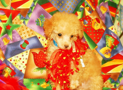 2006 Poodle Puppies Sold Photo Galleries