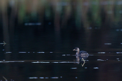 Dvergdykker (Little Grebe)