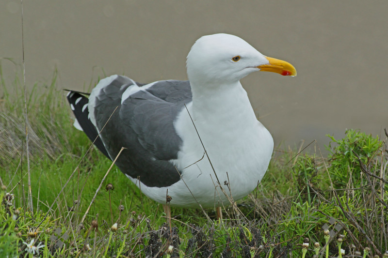 Western Gull ~ This photograph was taken in La Jolla Cove, in the San Diego area.  He was on the cliff side above the ocean.