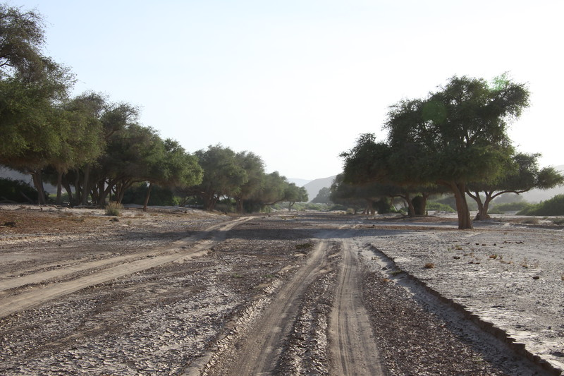 Ana trees in Huanib dry riverbed