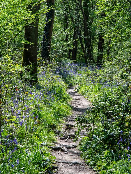 Bluebell woods in Dorset