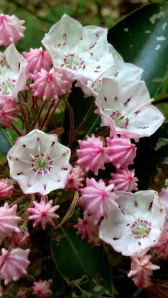 Mountain Laurel in Bloom at Hemlock Lake