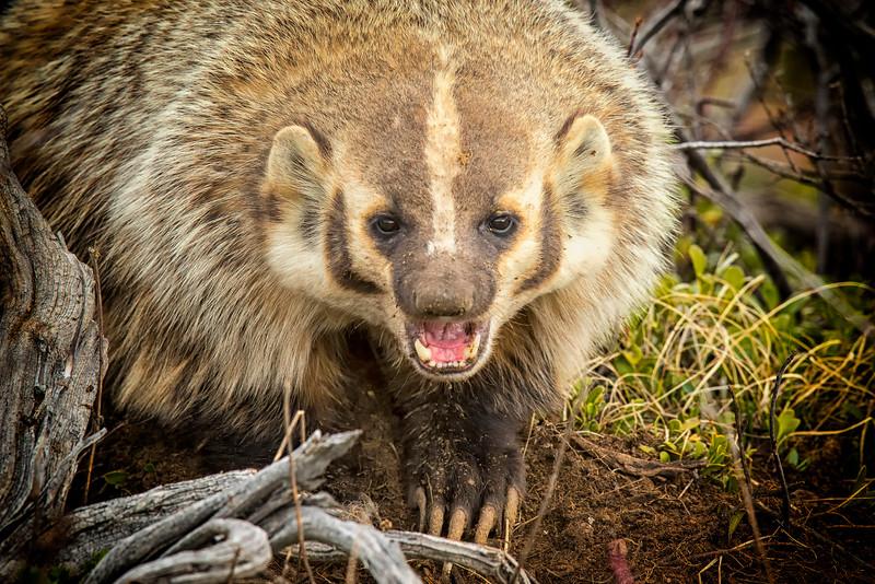 American Badger Dig