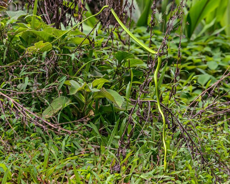 Green-Vine-Snake-hunt-01.jpg