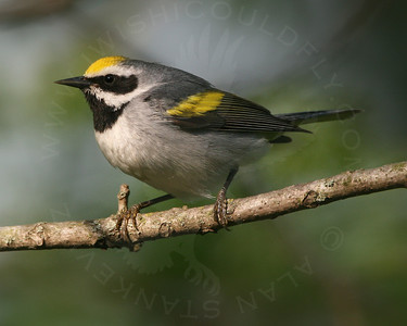 Warbler, Golden-Winged